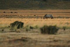 Pferd, das seitlich isst Stockbild