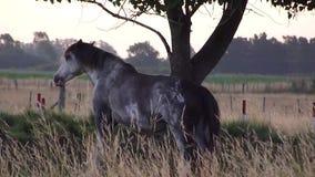Pferd, das sich verkratzt stock footage