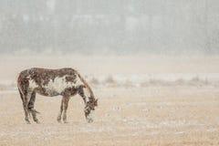 Pferd, das in Snowy-Weide weiden lässt Lizenzfreie Stockfotos
