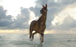Pferd, das am Sonnenaufgang trottet Lizenzfreies Stockbild