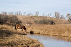Pferd, das am Strom trinkt Lizenzfreie Stockfotografie