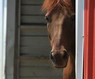Pferd, das um eine Ecke späht Lizenzfreies Stockbild