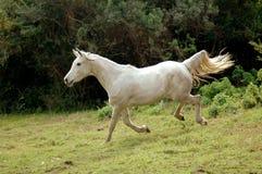 Pferd, das unten galoppiert Stockbild