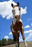 Pferd, das unten schaut Stockbild