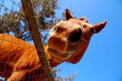Pferd, das unten schaut Stockfotos
