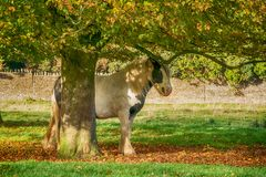 Pferd, das unter Baum auf Minchinhampton-Common schützt; Das Cotswolds; Gloucestershire lizenzfreies stockfoto