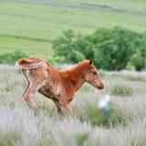 Pferd, das versucht zu stehen Stockbild