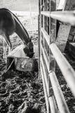 Pferd, das von einer Abflussrinne isst Stockfoto