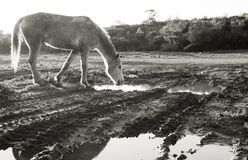 Pferd, das von einer Pfütze trinkt lizenzfreies stockfoto