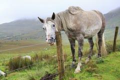 Pferd, das Zähne zeigt Lizenzfreies Stockbild