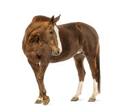 Pferd, das zurück schaut Stockbilder