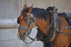 Pferd, das zwischen Wagenspaziergängen stillsteht Lizenzfreie Stockfotografie