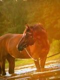 Pferd in der sonnigen Dämmerung Lizenzfreies Stockfoto