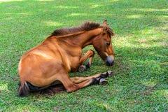 Pferd des gebrochenen Beines, das Gras isst Lizenzfreie Stockfotos