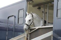 Pferd in einem Anhänger Stockbild