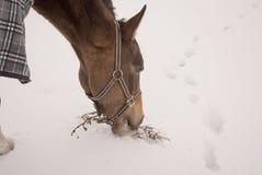 Pferd in einem karierten Pferdstoff isst Gras von unterhalb des Schnees Stockfotografie