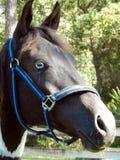 Pferd (Equus ferus caballus) Lizenzfreie Stockfotos