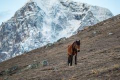 Pferd in Everest Nepal Stockbild