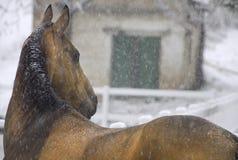 Pferd in fallendem Schnee Stockbilder