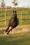Pferd galoppiert mit Geschwindigkeit in der Kurve Stockfotografie