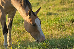 Pferd geben auf einem Feld in Argentinien frei Stockfotografie