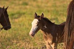 Pferd geben auf einem Feld in Argentinien frei Lizenzfreie Stockfotografie