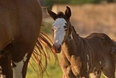 Pferd geben auf einem Feld in Argentinien frei Stockbilder