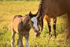 Pferd geben auf einem Feld in Argentinien frei Lizenzfreie Stockfotos