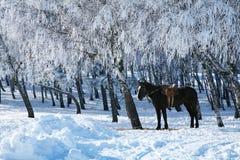 Pferd gegen die eisigen Bäume. Lizenzfreie Stockfotos