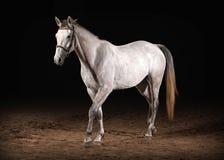Pferd Graue Farbe Trakehner auf dunklem Hintergrund mit Sand Lizenzfreie Stockfotografie