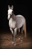 Pferd Graue Farbe Trakehner auf dunklem Hintergrund mit Sand Stockfotografie
