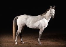 Pferd Graue Farbe Trakehner auf dunklem Hintergrund mit Sand Lizenzfreies Stockfoto