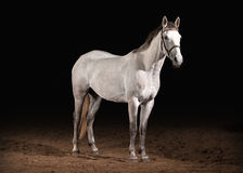Pferd Graue Farbe Trakehner auf dunklem Hintergrund mit Sand Lizenzfreie Stockbilder