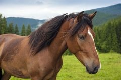 Pferd am Hochland weiden lassend, weiden Sie an den Karpatenbergen nach Regen stockfoto