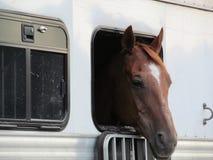 Pferd im Anhänger Stockbild