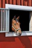 Pferd im Fenster Stockbild