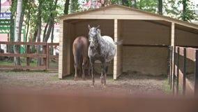 Pferd im Kontakt-Zoo stock video
