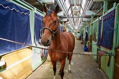 Pferd im Pferdestall Stockfotografie
