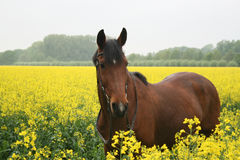 Pferd im Rapsfeld Stockbilder