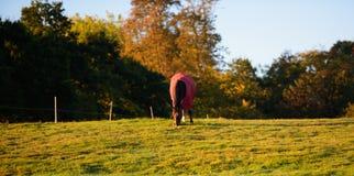 Pferd im roten Mantel weiden lassend Stockfotos