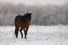 Pferd im Schnee Stockbilder