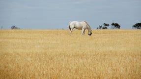 Pferd im Stroh Stockfotos