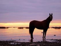 Pferd im suinset auf dem Meer Stockbild