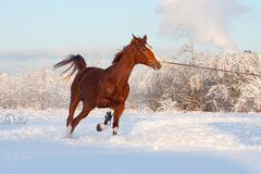 Pferd im Winter Stockfoto