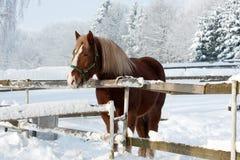 Pferd im Winter Stockfoto