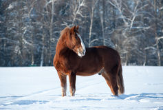 Pferd im Winter Stockfotos