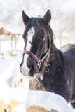 Pferd im Winter stockfotografie