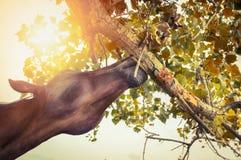 Pferd isst einen Baumast Stockfotos