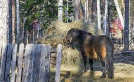 Pferd isst Heu Pferd, das hinter dem Zaun weiden l?sst lizenzfreie stockfotos