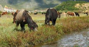 Pferd 4k lassen im Fluss, Wolkenmassenrollen über Bergen, weit weg Tempel weiden stock video footage